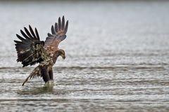Американское подныривание белоголового орлана стоковые фотографии rf