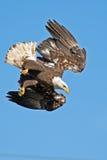 Американское подныривание белоголового орлана Стоковое фото RF