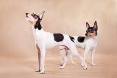 2 американское те Fox terrier_3 стоковая фотография
