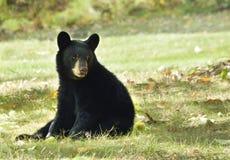 Американское усаживание Cub черного медведя Стоковые Фотографии RF