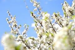 Американское цветение сливы стоковое изображение rf