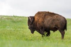 Американское bufalo Стоковое Изображение