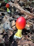 Американское Caesar' гриб s Стоковая Фотография