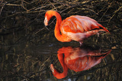 американское ruber phoenicopterus фламингоа Стоковое Фото