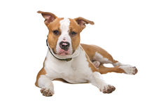 американское stafford собаки Стоковые Изображения