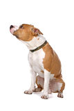американское stafford собаки Стоковое Фото