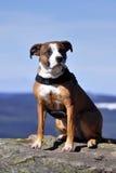 американское stafford собаки Стоковое фото RF