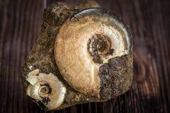 Аммониты разнообразия - ископаемый Стоковое Фото