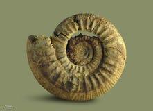 Аммонит - ископаемая наяда Стоковое Фото