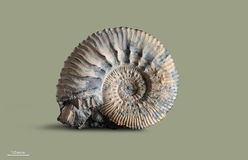 Аммонит - ископаемая наяда Стоковое Изображение RF