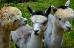 3 ламы альпаки Стоковая Фотография RF