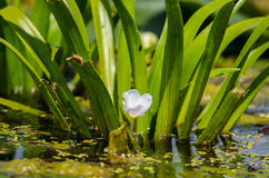 Ананас воды Стоковое Изображение