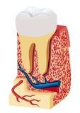 Анатомирование зуба (модель) Стоковое Изображение