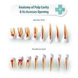 анатомирование зубоврачебное Стоковые Изображения