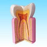 Анатомирование зубов Стоковые Изображения RF