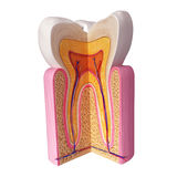 Анатомирование зубов Стоковые Фотографии RF