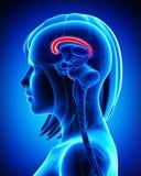 Анатомирование мозолистого тела мозга - поперечное сечение Стоковое Фото