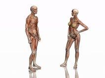 анатомирование muscles скелет transparant Стоковые Фотографии RF