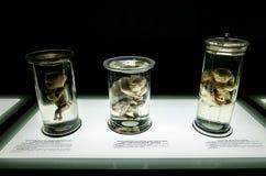 Анатомические экспонаты на выставке стоковые изображения rf