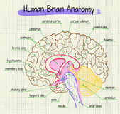 Анатомия взгляда со стороны человеческого мозга Стоковые Изображения RF