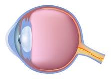 Анатомия глаза ноги иллюстрация вектора