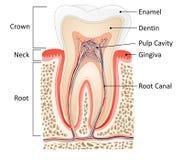 Анатомия зуба иллюстрация вектора