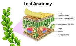 Анатомия лист иллюстрация штока