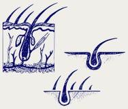 Анатомия и луковица волоса волос Стоковое Изображение RF