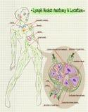 Анатомия иллюстрации человеческая и расположение лимфоузлов Стоковое Изображение