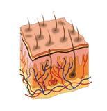 Анатомия кожи Стоковое Изображение