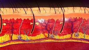 Анатомия кожи Стоковая Фотография