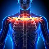 Анатомия косточки ключицы - косточки анатомии Стоковое Изображение