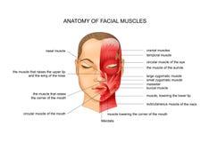 Анатомия лицевых мышц иллюстрация штока