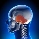 Анатомия мозга - височная косточка Стоковые Изображения RF