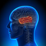 Анатомия мозга - височная доля Стоковые Фотографии RF