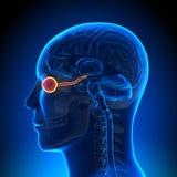 Анатомия мозга - оптически нерв/глаз иллюстрация вектора