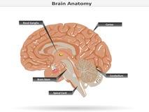 Анатомия мозга с базальными ганглиями, коркой, мозговым стволом, мозжечком и спинным мозгом Стоковое фото RF