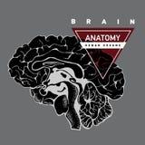Анатомия мозга людск бесплатная иллюстрация