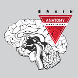 Анатомия мозга людск иллюстрация штока