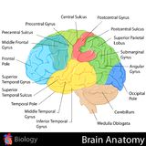 Анатомия мозга Стоковые Изображения