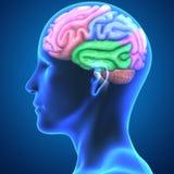 Анатомия мозга иллюстрация вектора