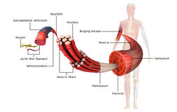 Анатомия мышцы иллюстрация вектора