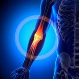 Анатомия локтя - косточки анатомии бесплатная иллюстрация