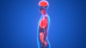 Анатомия органов человеческого тела Стоковые Изображения