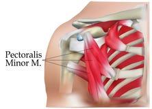 Анатомия плеча Стоковое фото RF