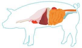 Анатомия свиньи вектора Пищеварительная система стоковое фото rf