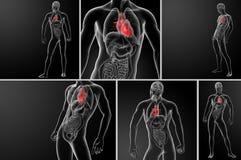 Анатомия сердца иллюстрация вектора