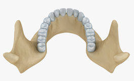 Анатомия скелета и зубов нижней челюсти Стоковые Фото