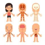 Анатомия тела девушки шаржа Вены женщины, органы и диаграмма биологии нервной системы Человеческие системы скелета и мышцы бесплатная иллюстрация