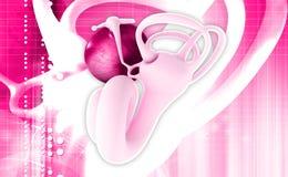Анатомия уха Стоковое Изображение
